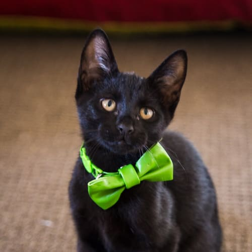 Mulberry  - Domestic Short Hair Cat