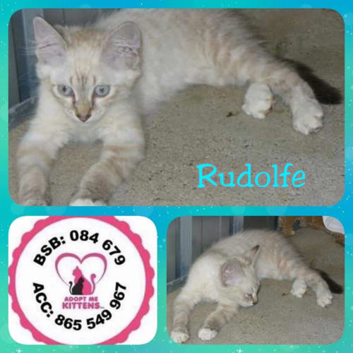 Rudolfe - Domestic Short Hair Cat