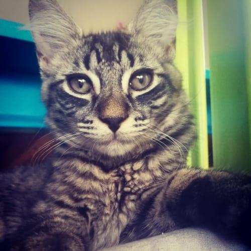 Philly - Domestic Medium Hair x Domestic Short Hair Cat