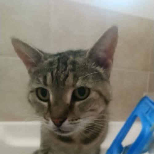 Yuzuki - Domestic Short Hair Cat