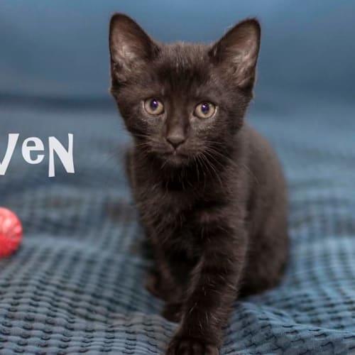 Raven - Tonkinese Cat