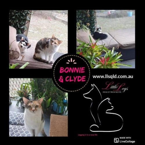 Bonnie / Clyde - Domestic Short Hair Cat