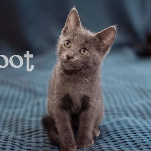 Soot - Tonkinese Cat