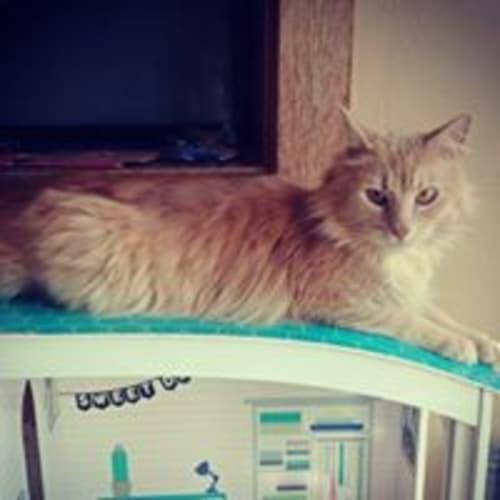 Namaste - Domestic Medium Hair Cat