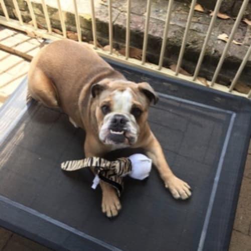 Lulu - Australian Bulldog