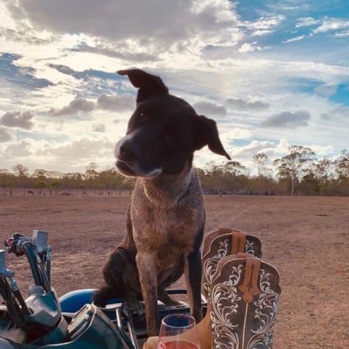Billy - Border Collie Dog