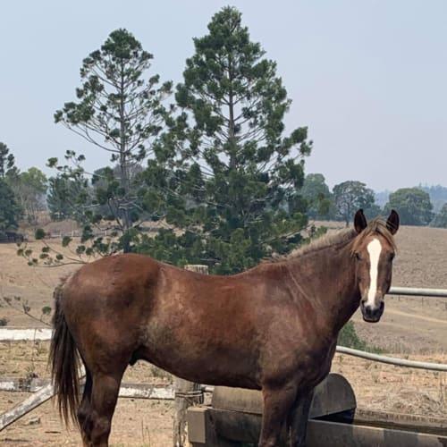 Chico  -  Horse