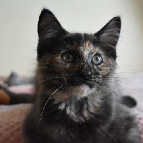 Marmalade - Domestic Medium Hair Cat