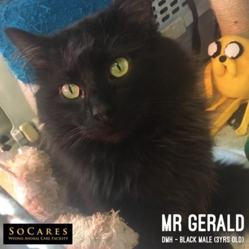 Mr Gerald - Domestic Medium Hair Cat