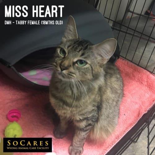 Miss Hearts - Domestic Short Hair Cat