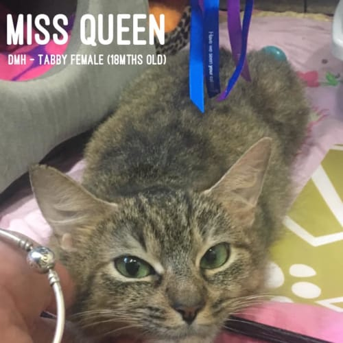 Miss Queen - Domestic Short Hair Cat