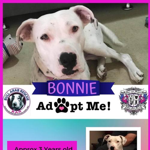 Bonnie - Bull Arab Dog
