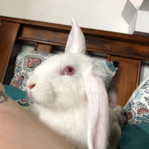 Jesse - Dwarf lop Rabbit