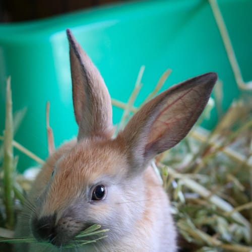 Hazel - Domestic Rabbit