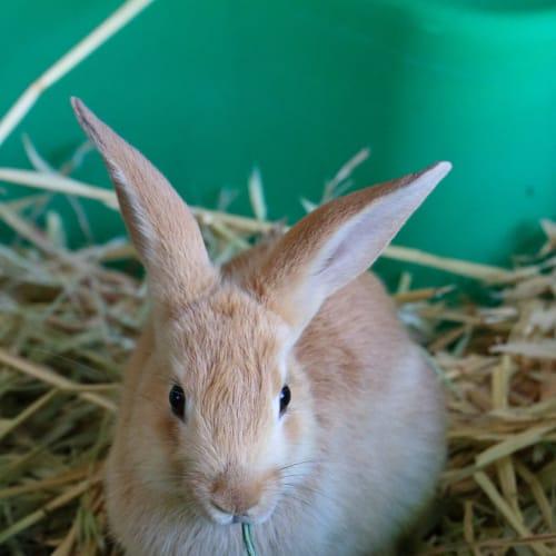 Lily - Domestic Rabbit