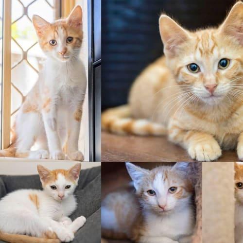 1984/1983/1985/2020 - Christmas Kittens - Domestic Short Hair Cat