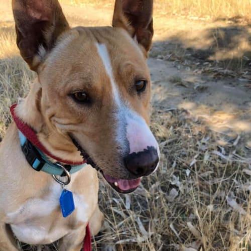 Scrappy DL2347 - Dingo x Staffy Dog
