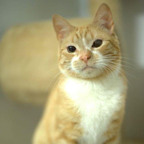 Lachie - Domestic Short Hair Cat