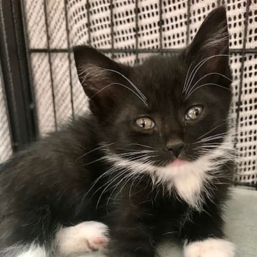 Loco - Domestic Medium Hair Cat