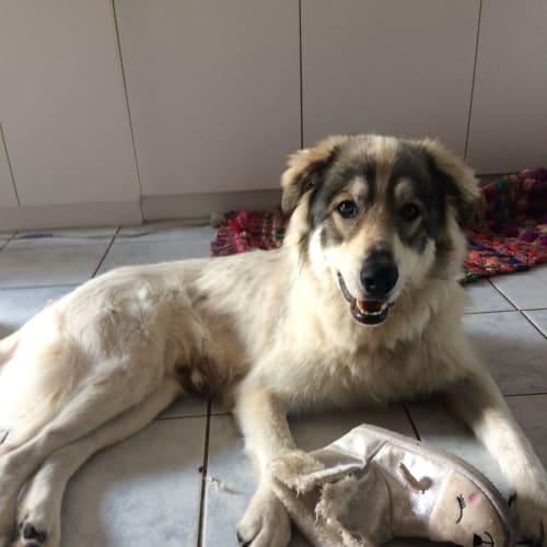 Hughsey  - Maremma Sheepdog