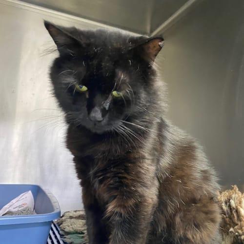 Montgomery - Domestic Medium Hair Cat