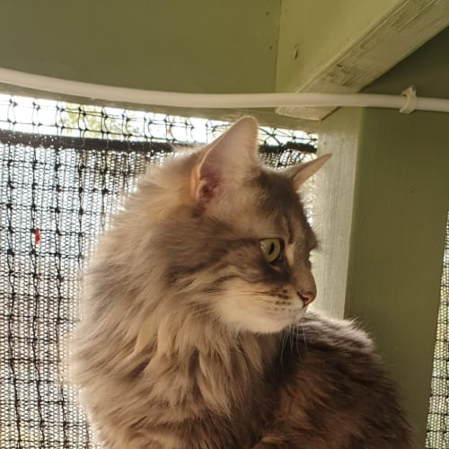 Misty - Domestic Long Hair Cat
