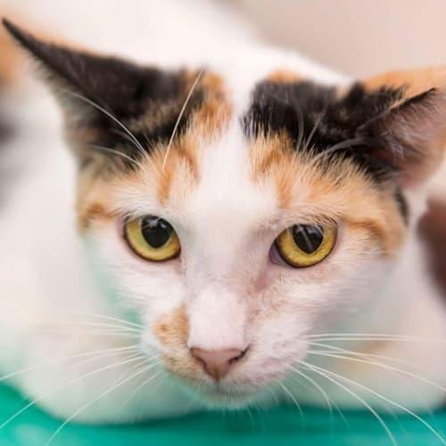 1982 - Avery - Domestic Short Hair Cat