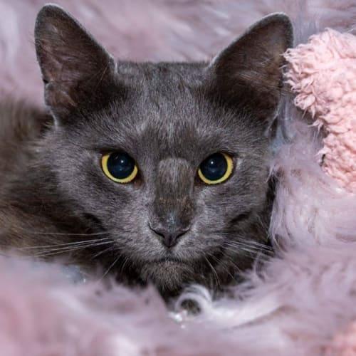 1996 - Isabelle - Domestic Short Hair Cat