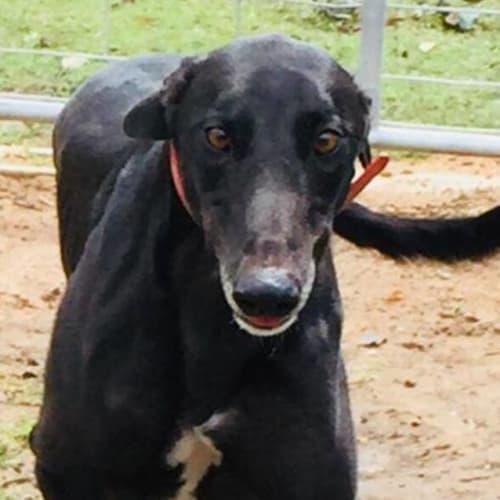 Bobby - Greyhound Dog