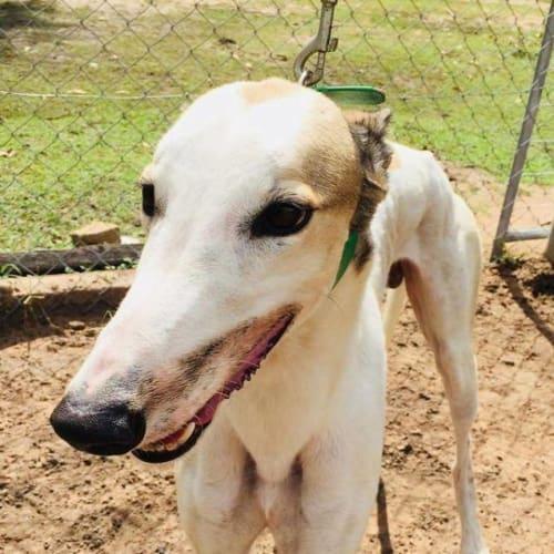 Duke - Greyhound Dog
