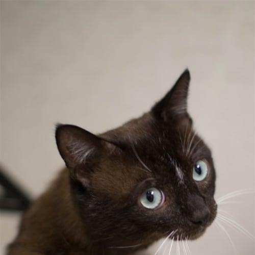 Dusty - Snowshoe Cat