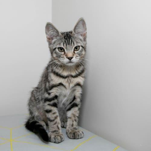 Dewey - Domestic Short Hair Cat