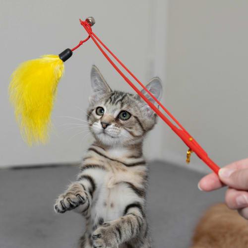 Louey - Domestic Short Hair Cat
