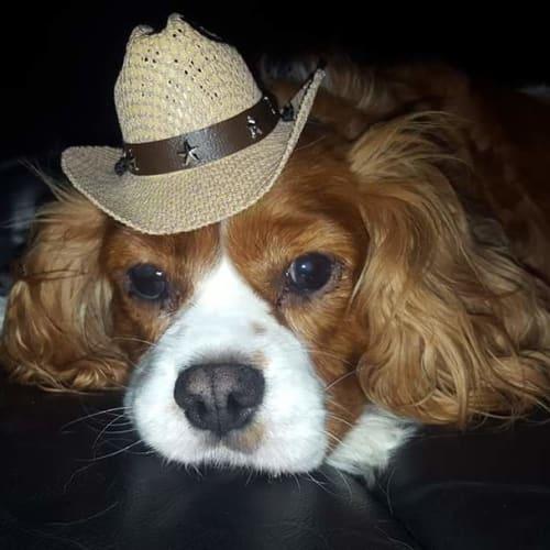 Max - Cavalier King Charles Spaniel Dog