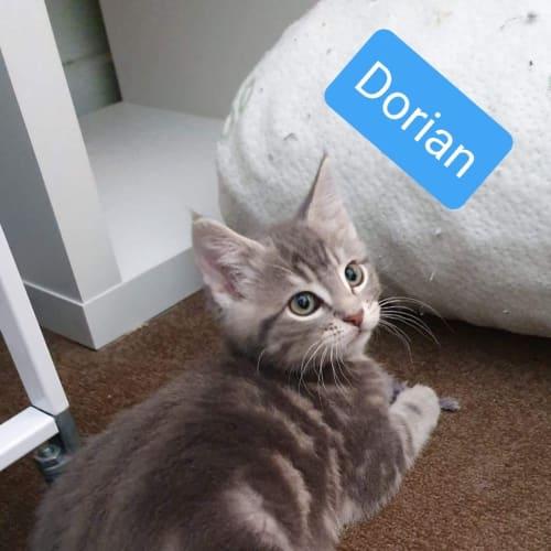 Dorian - Domestic Medium Hair Cat