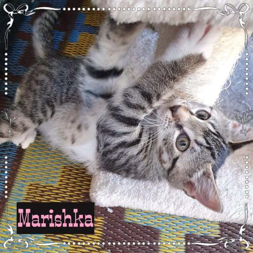 Marishka - Domestic Short Hair Cat
