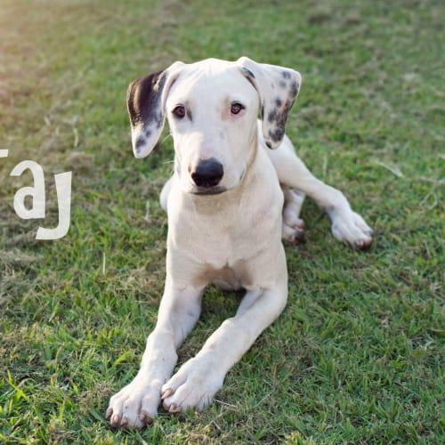 Taj - Bull Arab Dog