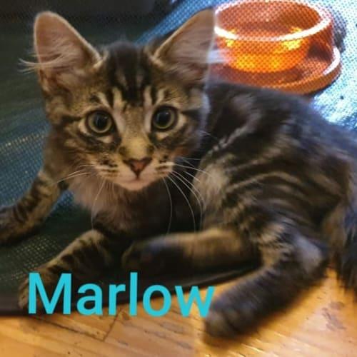 Marlow - Domestic Medium Hair Cat