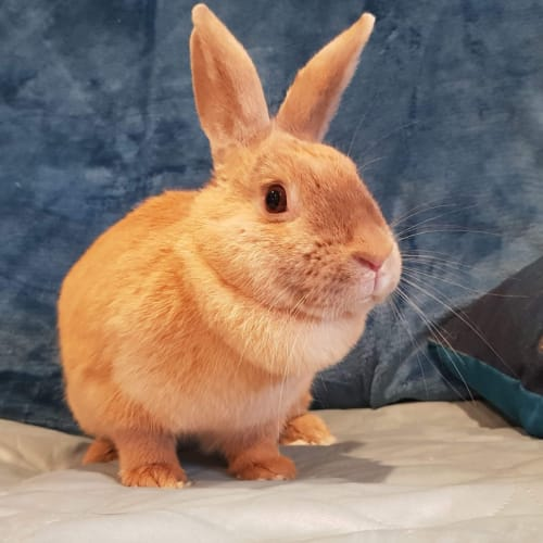 Sprinkles  - Domestic Rabbit