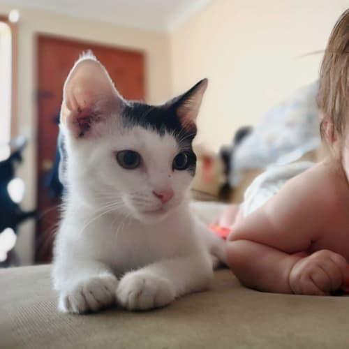 Zoro ⚡️ - Domestic Short Hair Cat