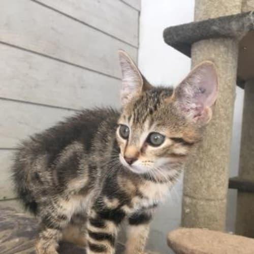 Solly - Domestic Short Hair Cat
