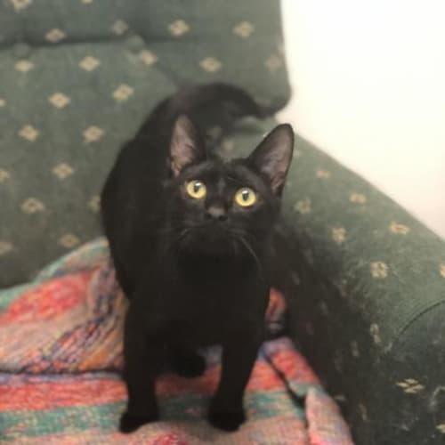 Sirus - Domestic Short Hair Cat