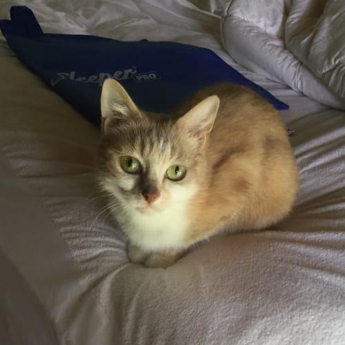 Fenix - Domestic Short Hair Cat