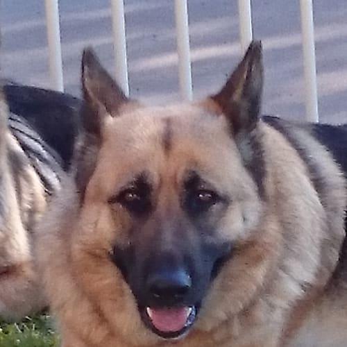 Olivia - German Shepherd Dog