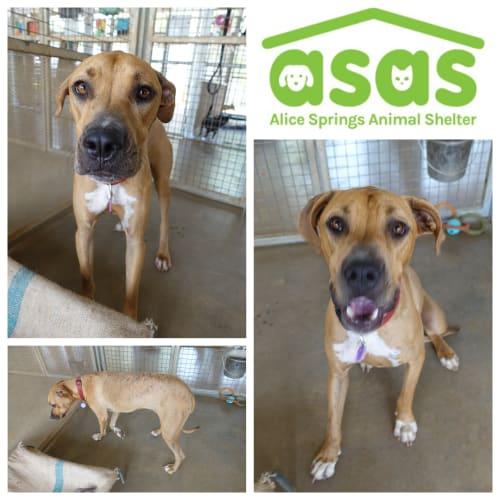 Tess  DG20-004 - Mastiff x Great Dane x Bull Arab Dog