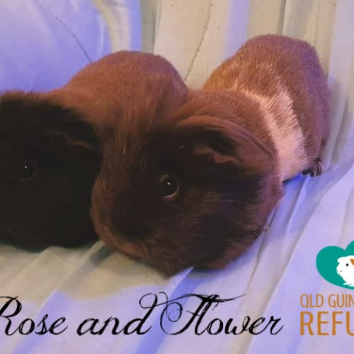Rose and Flower (indoor home only) - Sheltie Guinea Pig