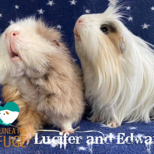 Lucifer and Edward (indoor home only) - Sheltie x Peruvian Guinea Pig