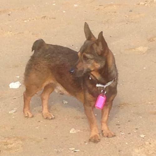 Rusty - Jack Russell Terrier x Corgi, Cardigan Dog