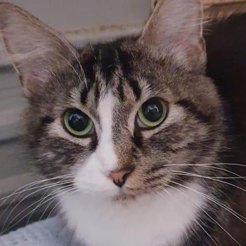 Tammy - Domestic Short Hair Cat