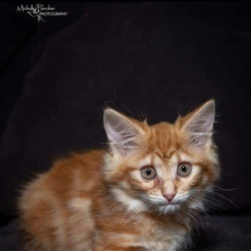 1888 – Madeleine - Domestic Short Hair Cat